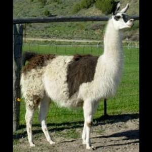Cherokee | Female Pack Llama | Idaho